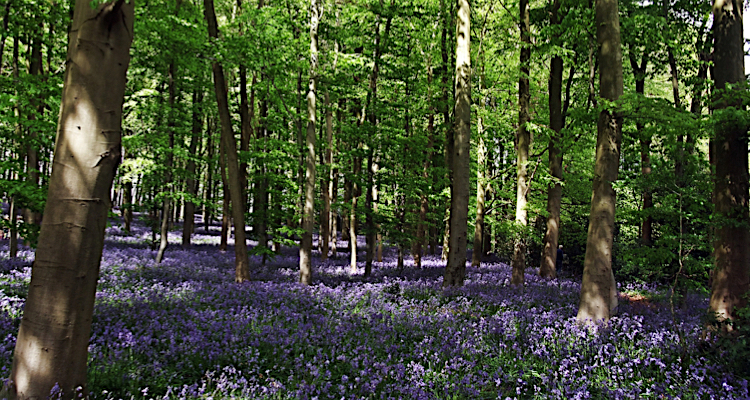 Bluebell woods - days out for free with the kids in Nature