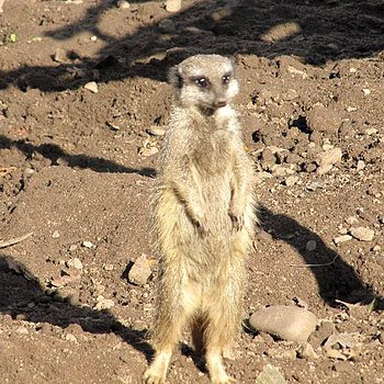 Meerkat Experience For Two Picture