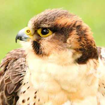 Falconry West Sussex