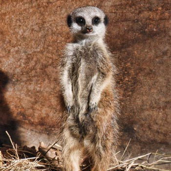 Meerkat Experience East Sussex Picture