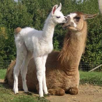 Llama Trekking Northants