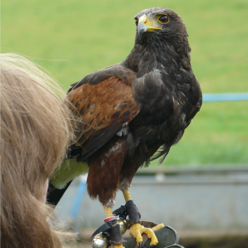 Nationwide Falconry Offer