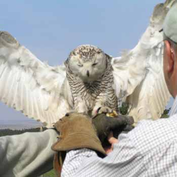 Falconry In Northumberland Picture