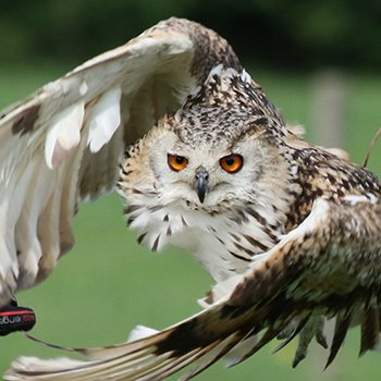 Falconry In Surrey Picture