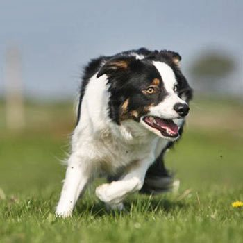 Sheepdog Experience Picture