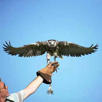 Falconry Gloucestershire Picture