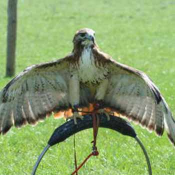 York Birds Of Prey Picture