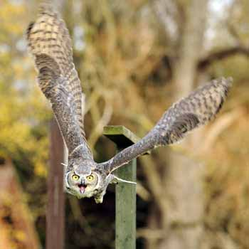 Birds of Prey in Bedfordshire