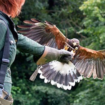 Falconry in Bath