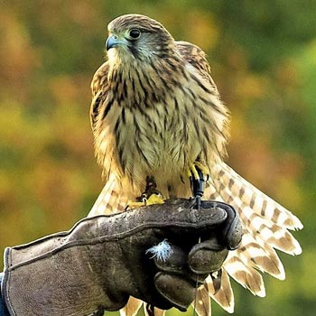 Birds Of Prey Peterborough Picture