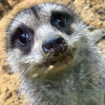 Meerkat Encounter In Kent Picture