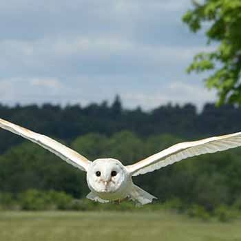 white flying owl